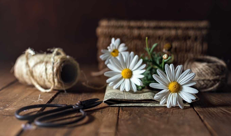 daisy, цветы, ножницы, картинка, goodfon, bild, donnerstag