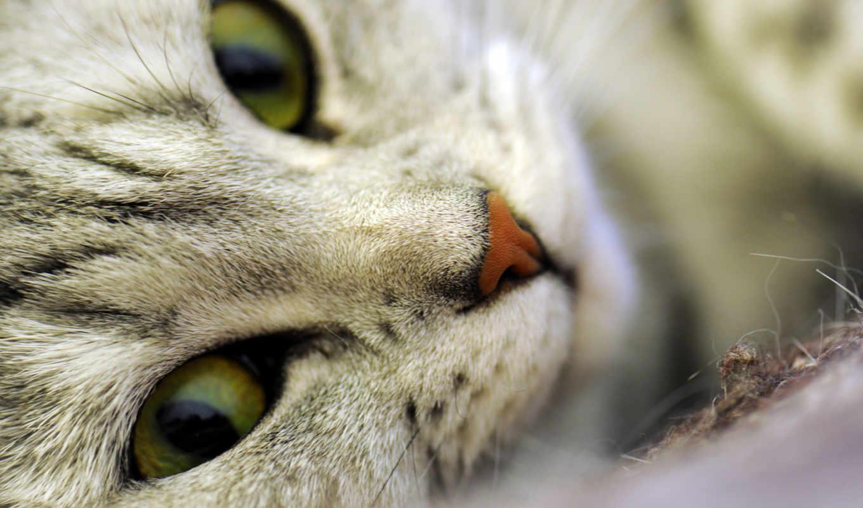 ,, усы, desktop wallpaper, desktop metaphor, european shorthair, бенгальская кошка, полосатый кот,  domestic short-haired cat