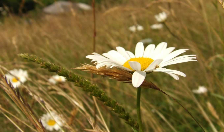 ромашка, поле, цветы, трава, ромашки, серьги, небо,