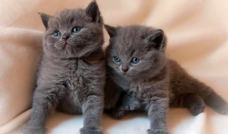 котята, животные, короткошёрстная, количество, малыши,