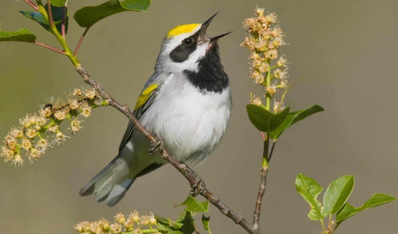 birds, птица, птицы, пение, android, yellow, пение,