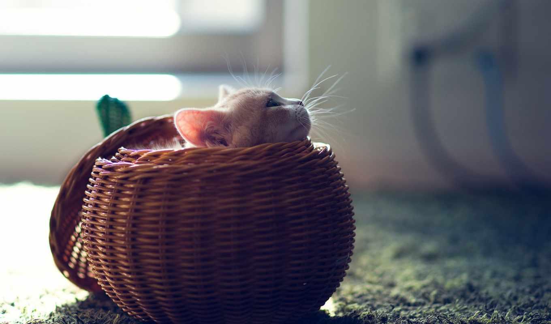 корзина, cute, котенок, zhivotnye, rf, кот, kittens, stock,