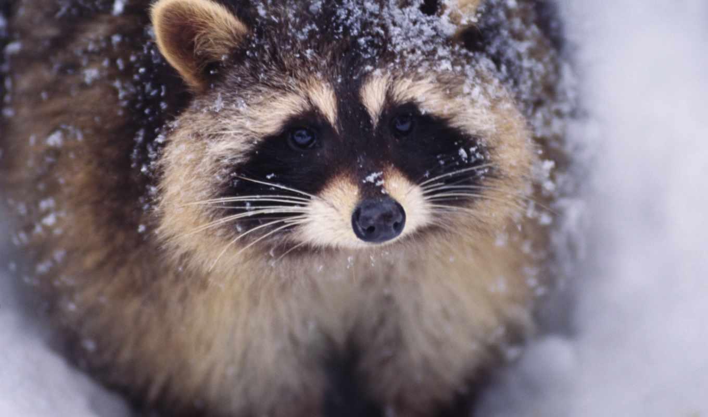 енот, обои, фото, еноты, енота, снегу, кошка, зима