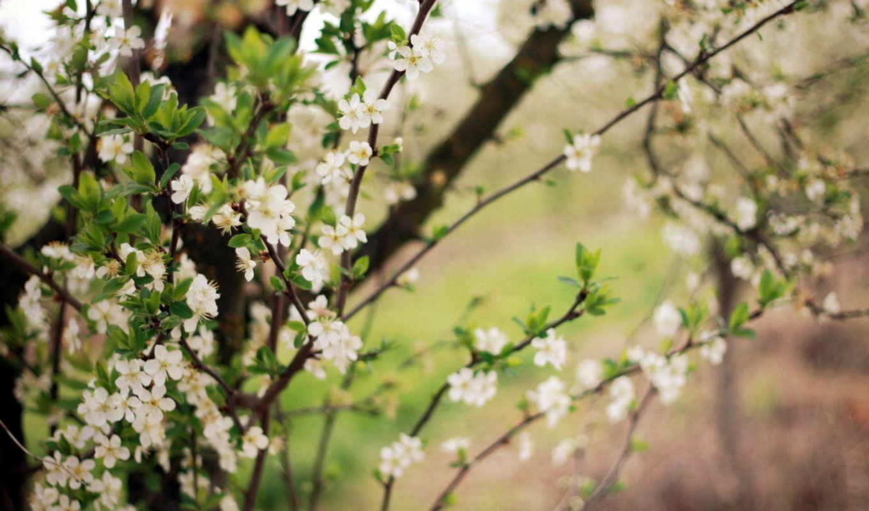 весна, цветение, просмотреть, деревья, сад, цветки, дерево, вишня, мрачные,