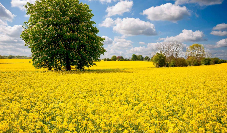 rape, field, oilseed,