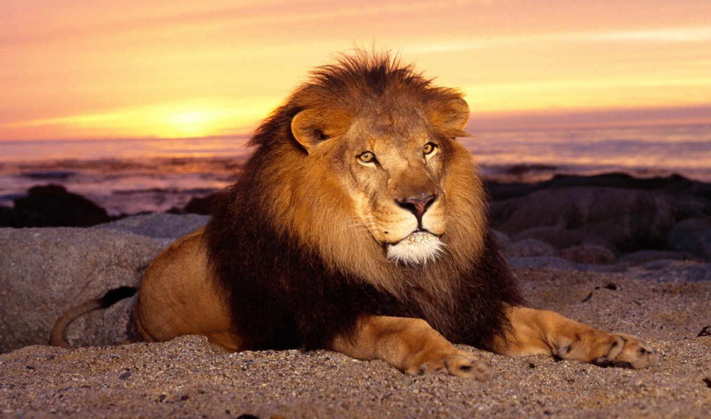 львы, lion, всегда, всех, львів, россия,
