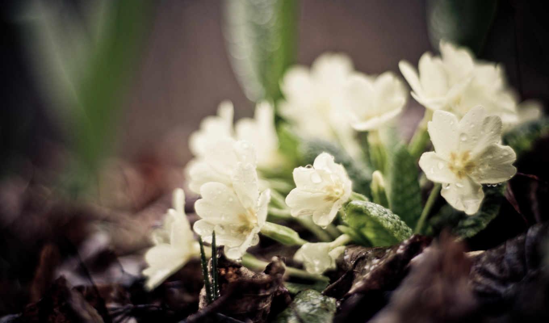 цветы, картинка, макро, белые, flowers, трава,