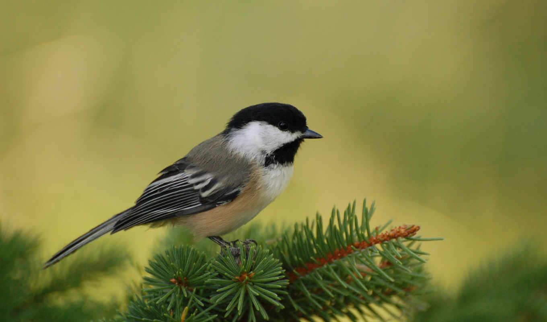 день, синичкин, ноября, праздник, птиц, titmouse, птица, птицы, синички, she,
