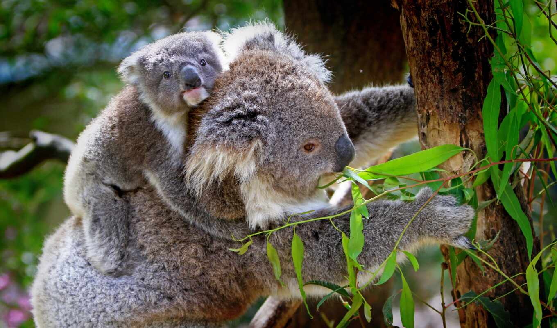 коала, ли, разместить, herb-voro, эти, grandes, creator, virus, animal