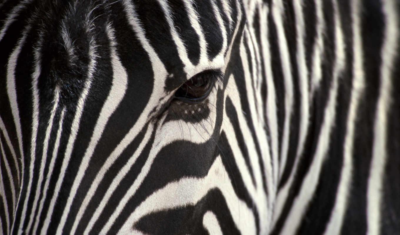 зебра, animals, зебры, животные, full, similar, морда,
