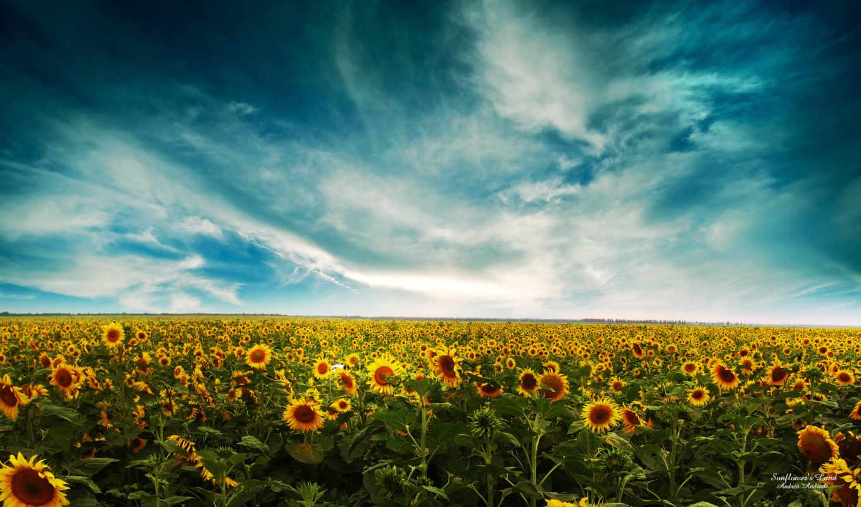 подсолнухи, поле, небо, oblaka, summer, желтые,