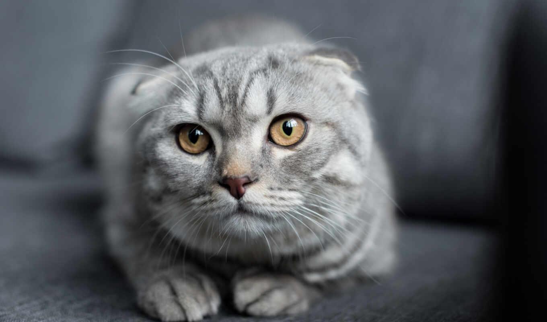 scottish, кот, фолд, red, vodafone, группа, плоский, vyselyat
