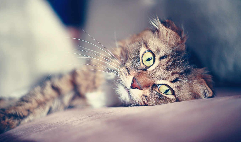 кошки, кот, красивые, кошек, взгляд, вислоухий, совершенно,