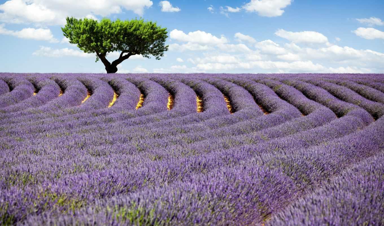 lavender, поле, природа, небо, цветы,