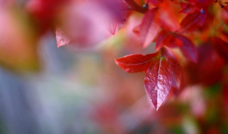 макро, листья, код, деревья, красный, осень,