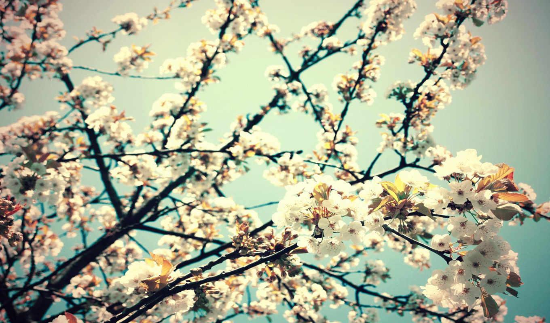 цветы, весна, вишня, ветка,