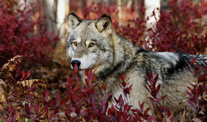 взгляд, волк, серый, волки,