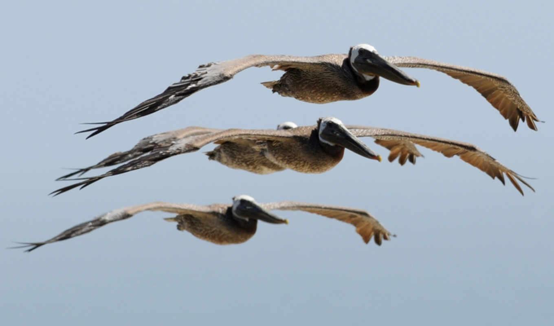 flying, pelicans, фотоохота, you, пляж, марта, красивые,
