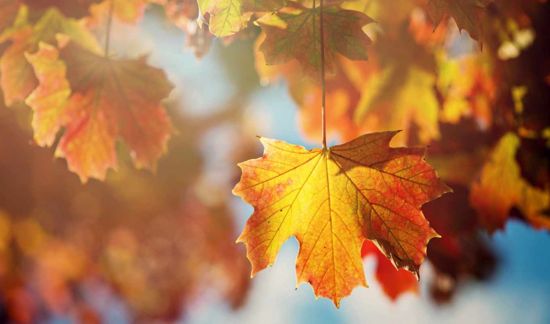 оранжевые, листья, дерево, осень, лист, картинку, картинка, кнопкой, мыши,