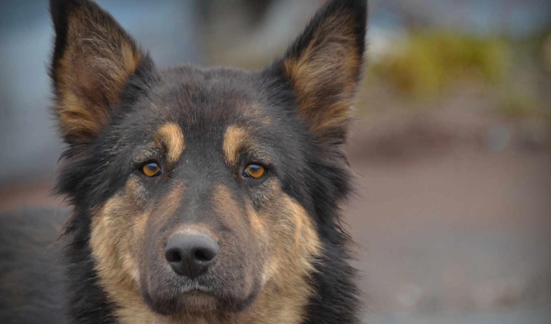 пес,собака,животные,мордашка,