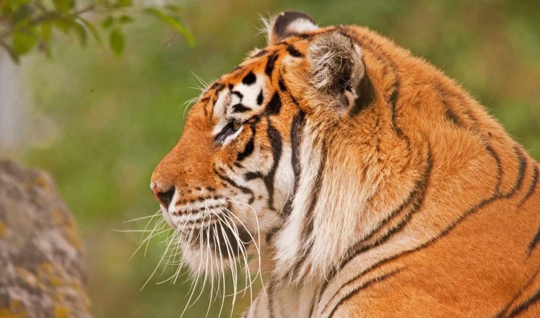тигр, морда, разрешений, высоком, креатив, природы, фотографии, архиве, автомобили, хищник, без, тигры, регистрации, животные, другие, усы,