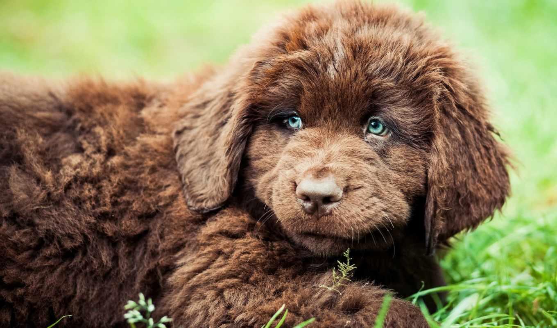 щенок, ньюфаундленд, собаки, zhivotnye, собака, взгляд,