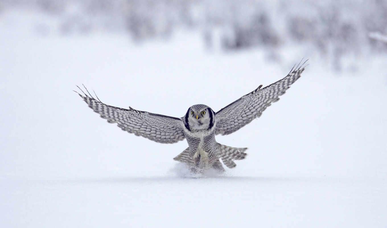сова, winter, falcon, снег, animal, волна, zhivotnye, птица, крылья, широкоформатные,