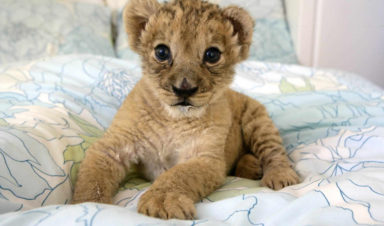 home, lion, высоком, детёныш, small, львенок, тысяч,