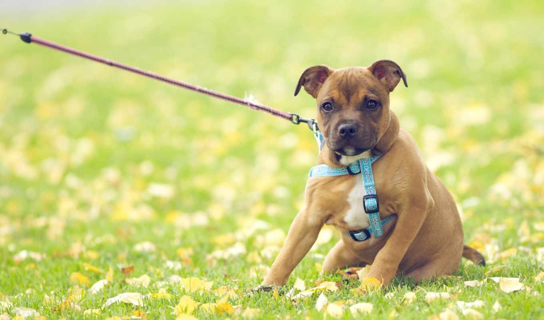 поводок, собака, собак, тянет, собаки, pull, собаку, отучить,