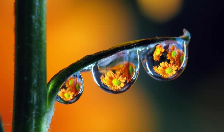 цветы, макро, капли, отражение, картинка, картинку,