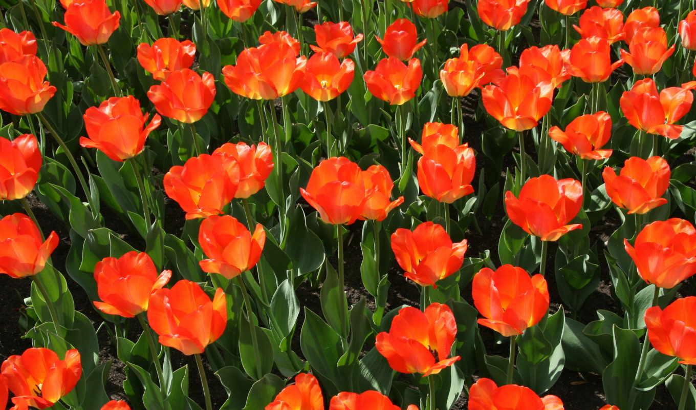 красные, цветы, тюльпаны, summer, природа,