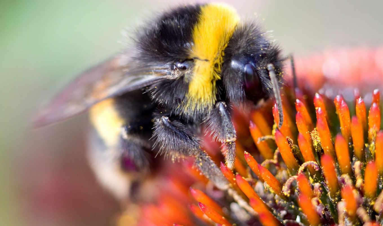 пчелка, макро,