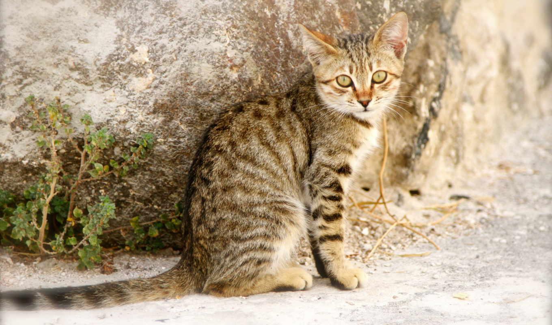 striped, кот, animals,