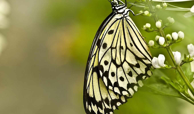 бабочка, цветок, белый, макро, размытость,
