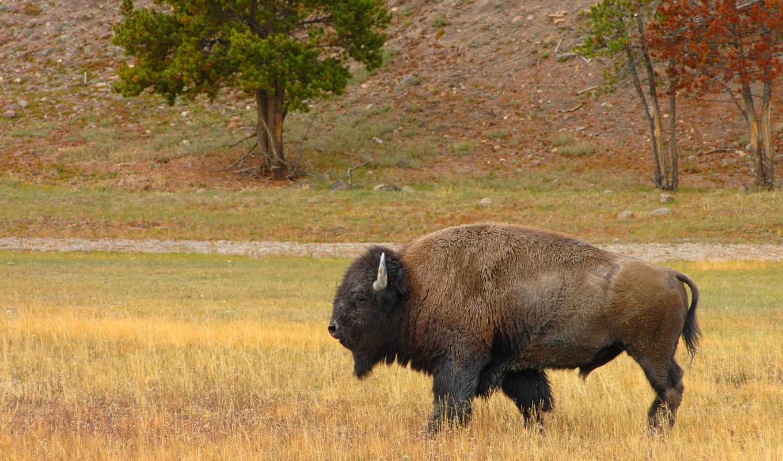 bizon, бизон, трава, цветы, взгляд, рога,