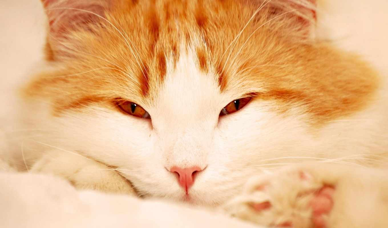 кот, рыжий, пушистый, кошка, картинку, картинка, кнопкой, мыши, кликните,