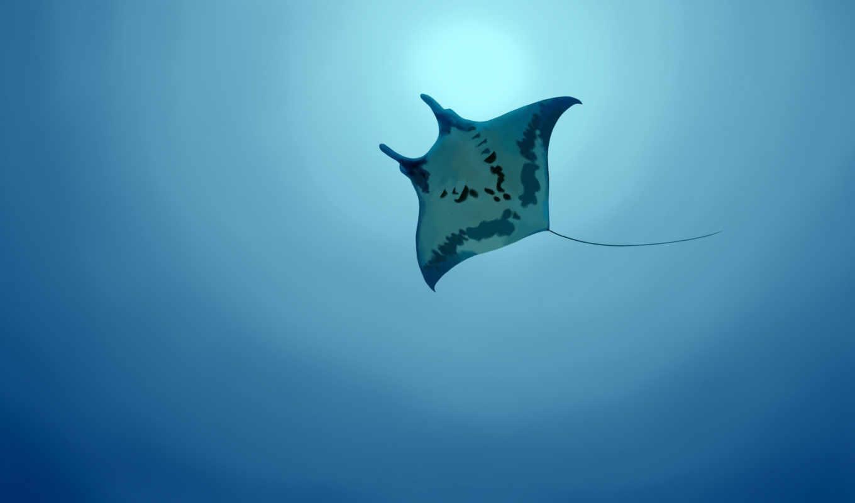 manta, скат, ray, full, download, ocean, можно, animal, landscape, nature, view,