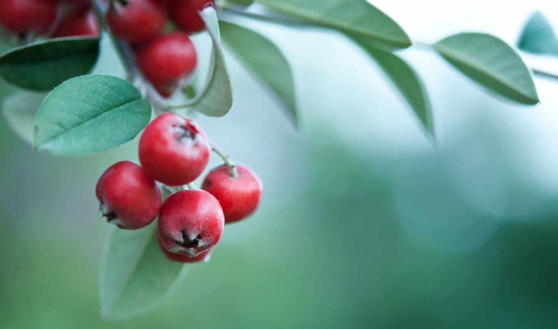 ягоды, красные, листья, ветка, makro, падуб, остролист,