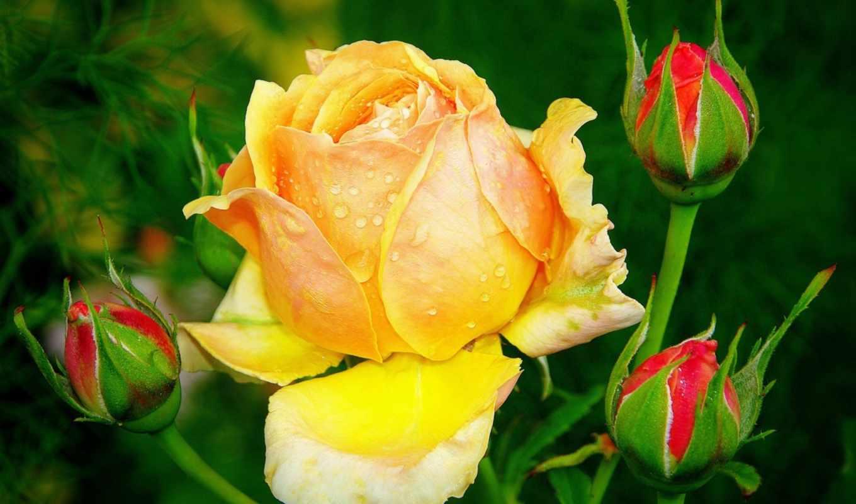 роза, листья, розы, шипы, бутон, цветы, лепестки, липестки, роз,