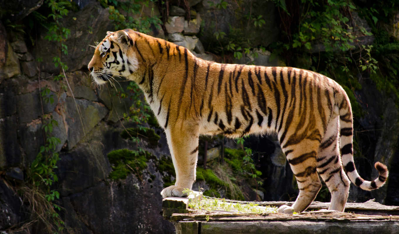 тигр, animal, хищник, тигры, дикая,