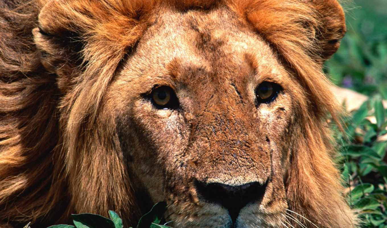 lion, хищников, зооклубе, фотографий, лео, львица, panthera,