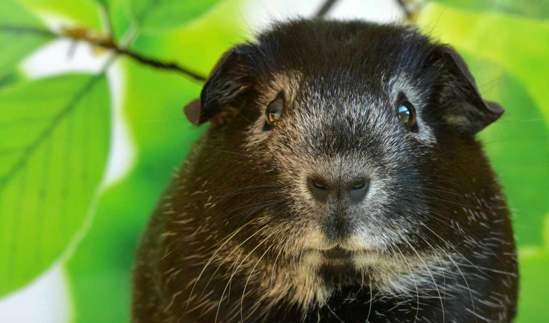 guinea, white, свинья, black, pigs, фокс, cute, silver,