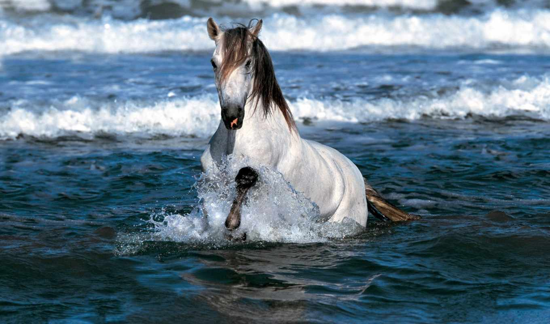 фото, белая, фот, лошади, воде,