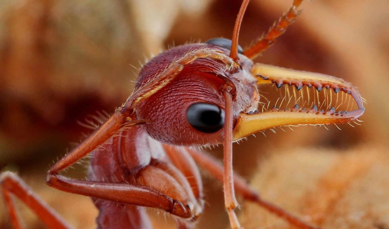 ,муровей, насекомые, fire ant,