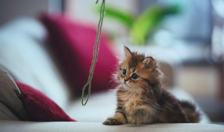 кот, котенок, torode, daisy, бен, кошки, game, мяч, играет, нитки, мире,