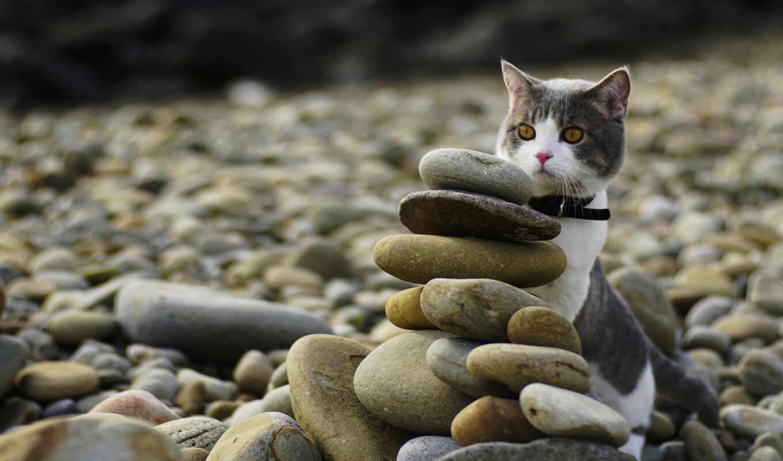 кот, wallbox, камень, domestic, short, берег, галька, морда