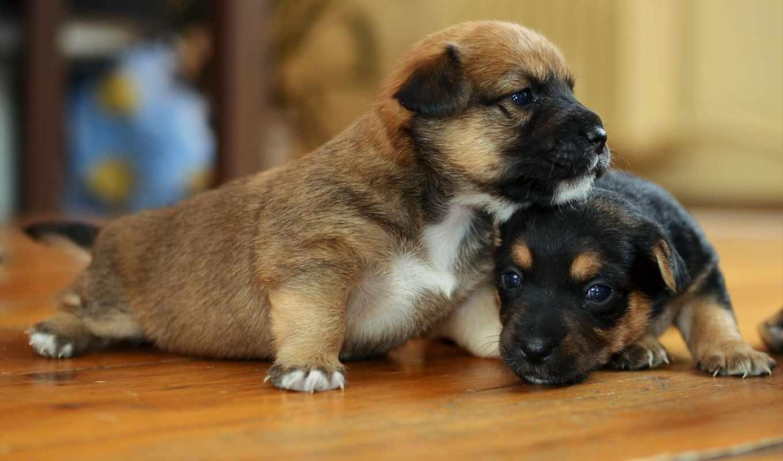 дом, собаки, щенки, similar, colors,
