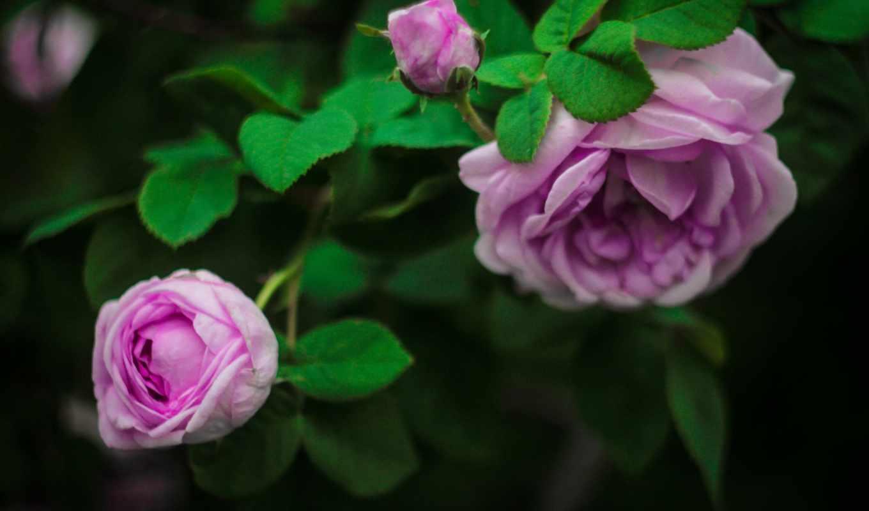 ,розы, цветы, бутоны, листья,