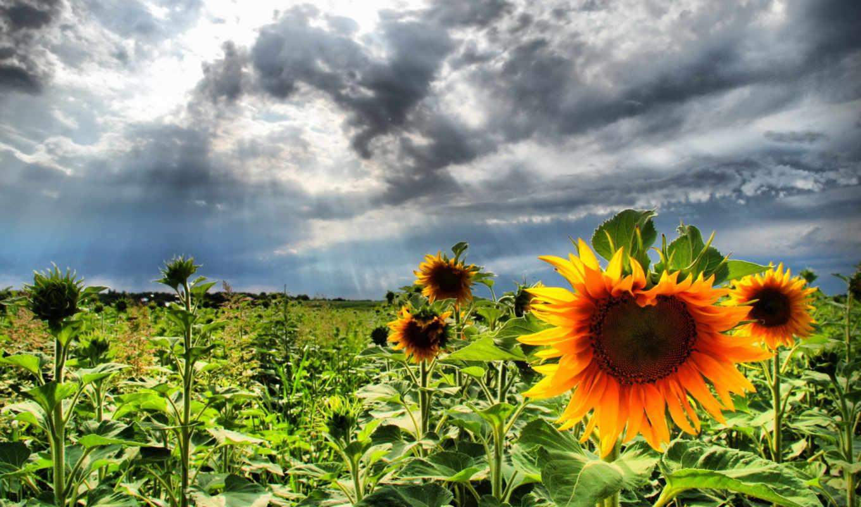 подсолнух, sunflowers,