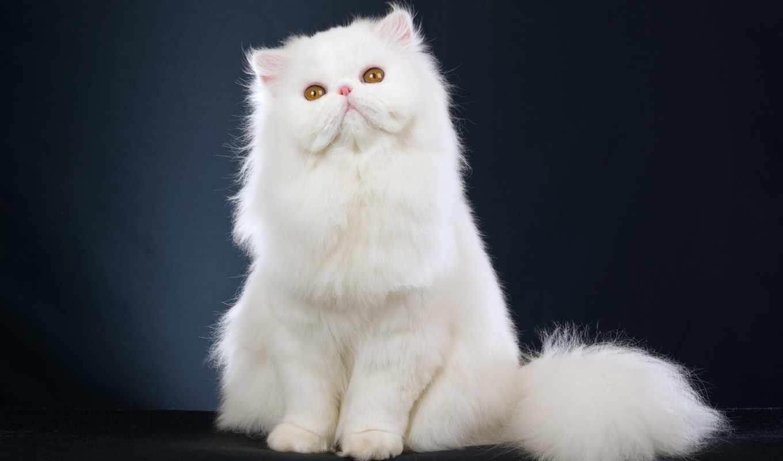 кошек, породы, фотографиями, миркошек, рф, приплюснутой, самые, их, кот, кошки, персидская,
